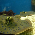 Manila Ocean Park - Stingrays