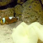 Manila Ocean Park - Clownfish