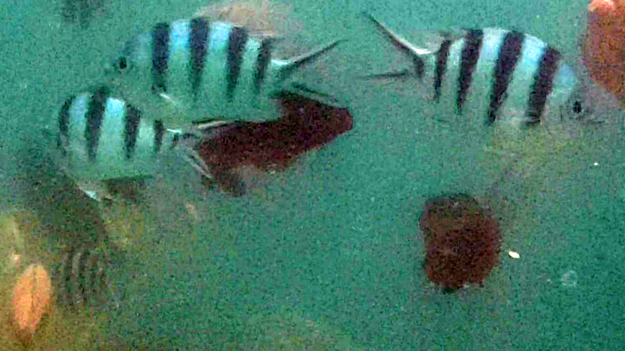 Sergeant fishes in Subic, (Zambales Philippines)